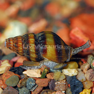 Assassin Snail