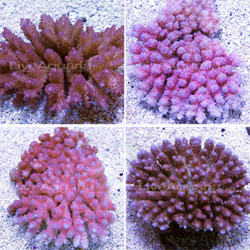 Tabling Acropora Coral, Pink/Red