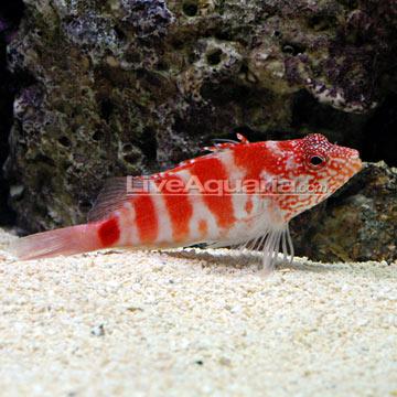 شاهین ماهی سرخ ( blood red hawkfish )