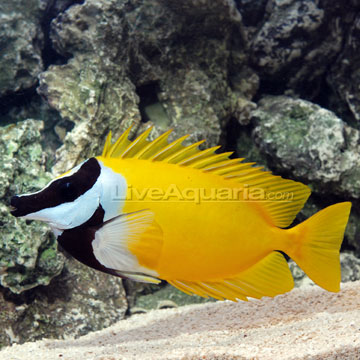Saltwater fish beginners kaskus archive for Fox face fish