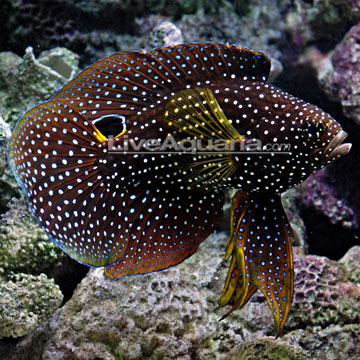 Saltwater aquarium fish for marine aquariums marine betta for Betta fish size