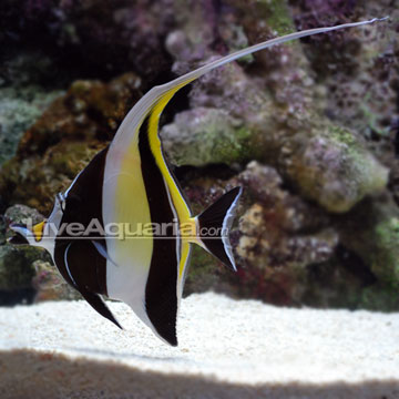 Saltwater Aquarium Fish for Marine Aquariums: Moorish Idol