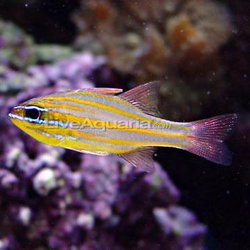 Yellowstriped Cardinalfish, Captive-Bred