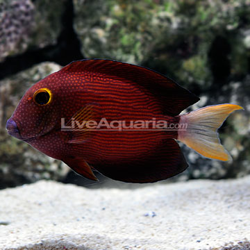 White Tail Bristletooth Tang