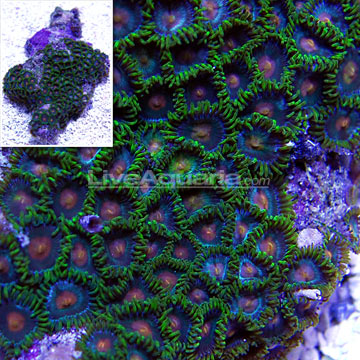 "Colony Polyp, ""Green Bay Packer"""