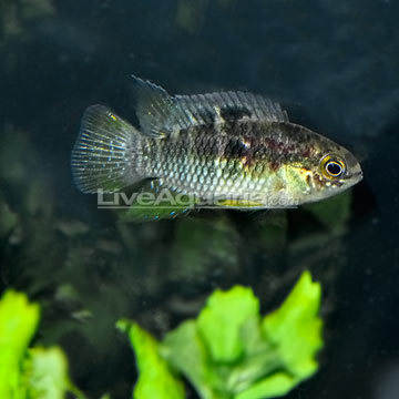 Red Breast Smiling Cichlid