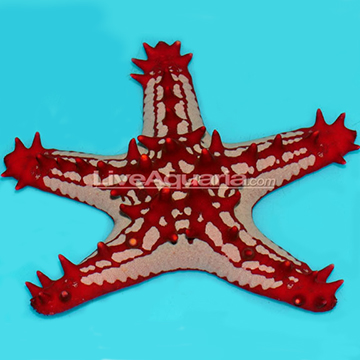 Red Knob Sea Star
