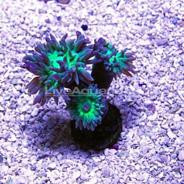 Duncanopsammia Coral - Aquacultured USA