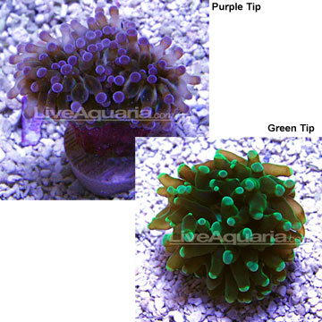 Grape Coral - Aquacultured, USA