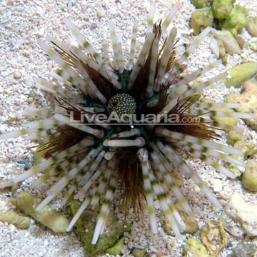 Longspine Urchin, Banded