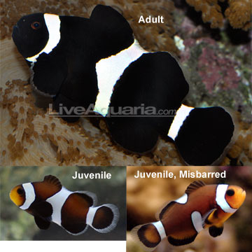 Black & White Ocellaris Clownfish - Tank-Bred