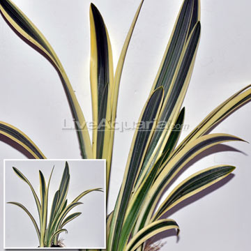 Variegated Spider Lily