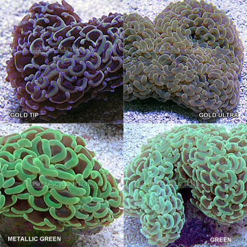 Saltwater aquarium corals for marine reef aquariums hammer coral