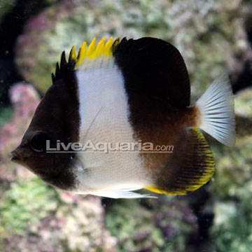 Zoster Butterflyfish