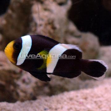 دلقک ماهی زین دار آفریقایی ( saddle back clown fish )    قیمت : 25000