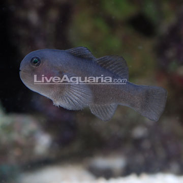 Clown Goby, Black