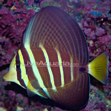 جراح باله بادبانی ( sailfin tang )