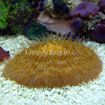 Plate Coral, Orange - Short Tentacle