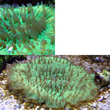 Plate Coral, Green - Short Tentacle
