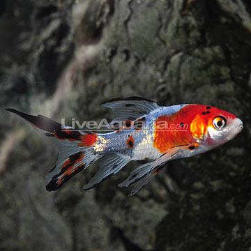 Tropical fish for freshwater water garden ponds shubunkin for Koi pond kh level