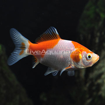 Tropical fish for freshwater ponds sarasa comet goldfish for Comet pond fish