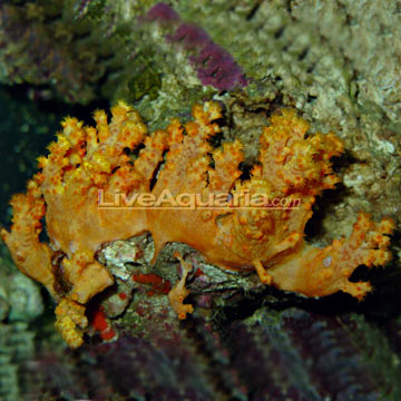 Flower Tree Coral, Colony