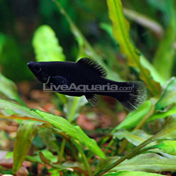 Tropical fish for freshwater aquariums black molly for Black molly fish