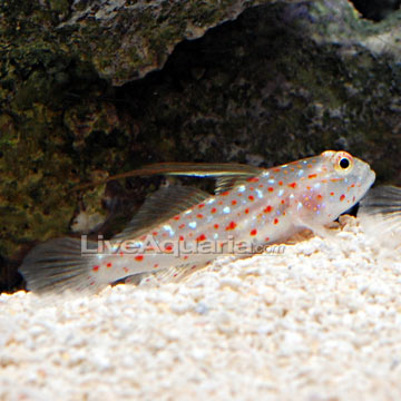 ... Aquarium Fish for Marine Reef Aquariums: Tangaroa Goby Shrimp Gobies