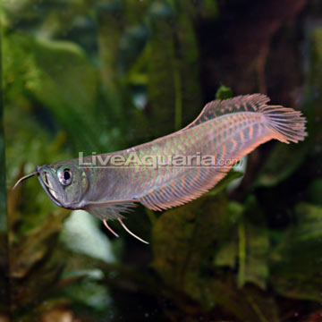 Tropical fish for freshwater aquariums silver arowana for Bichir fish for sale