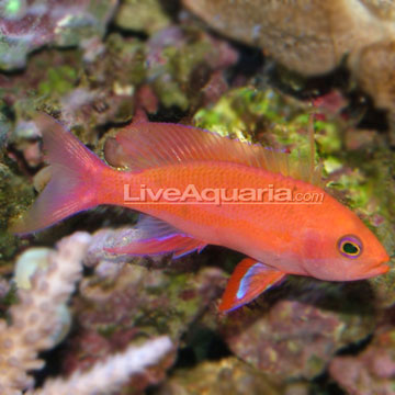 Randall's Anthias