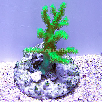 Saltwater Aquarium Corals for Marine Reef Aquariums ...