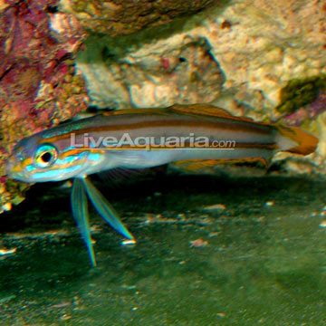 Lined Dartfish