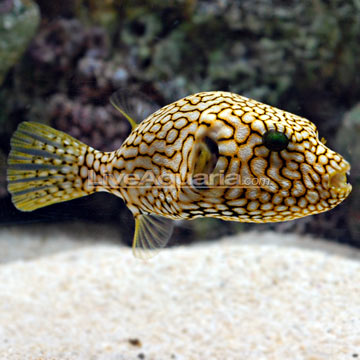 p 80709 puffer - Help Me Choose My New Puffer!