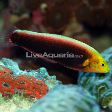 Radiant Wrasse EXPERT ONLY