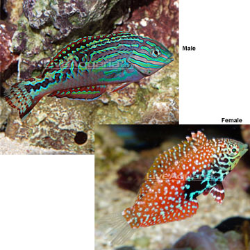 Blue Star Leopard Wrasse EXPERT ONLY