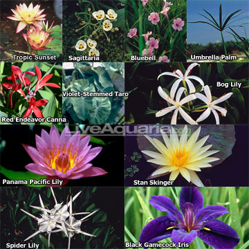 ft x ft tropical full sun pond plant variety pack, Beautiful flower