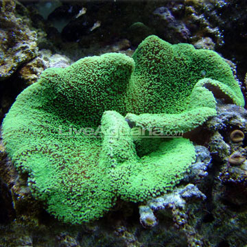 Haddon's Carpet Anemone, Green