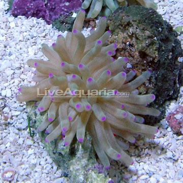 SW - Haitian Reef Anemone - SmallWhite Anemone Saltwater