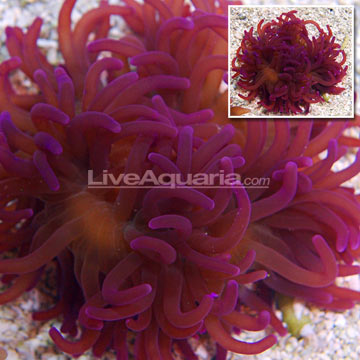 Long Tentacle Anemone, Purple