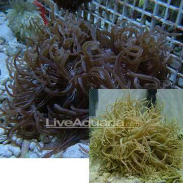 Long Tentacle Anemone