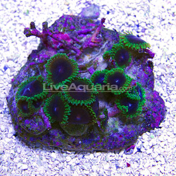 Colony Polyp, Joker