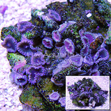Colony Polyp, Dusty Diamonds