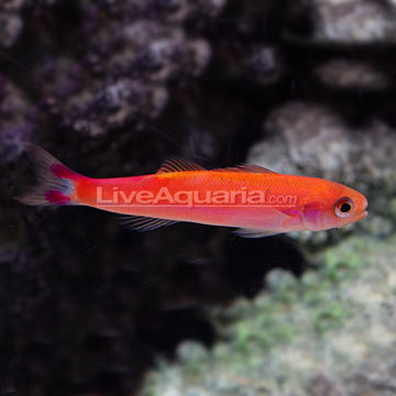 Waitei Anthias