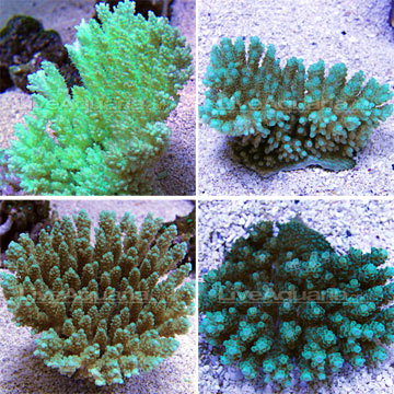 Corals for marine reef aquariums tabling acropora coral acropora sp