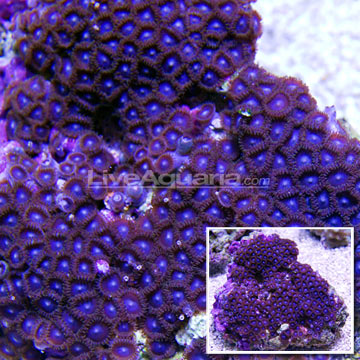 Colony Polyp, Blue