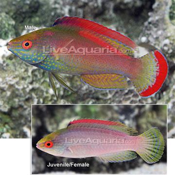 Saltwater aquarium fish for marine aquariums pink margin for Pink saltwater fish
