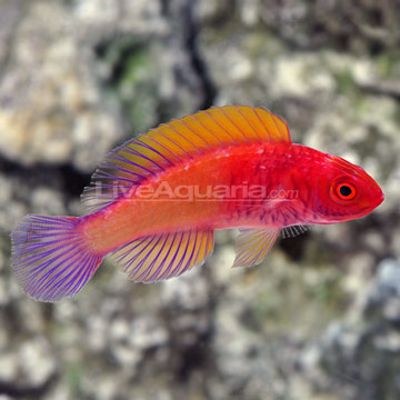 Saltwater aquarium fish for marine aquariums red velvet for Red saltwater fish