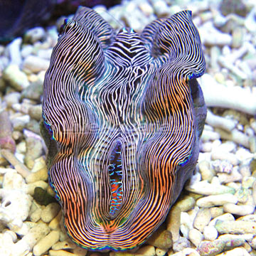 Derasa Clam, Striped with Blue Rim