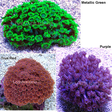 Flash deals today only flower pot coral long polyp aquacultured medium mightylinksfo