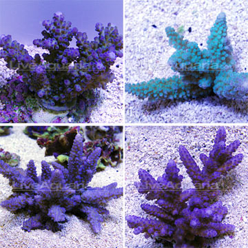 Branching Acropora Coral, Blue
